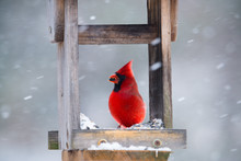 Vibrant Red Cardinal Eating Su...