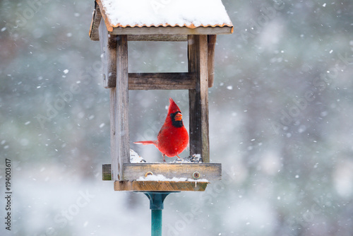 Photo  Vibrant red cardinal eating sunflower seeds in open feeder in snow storm