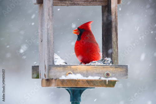 Vibrant red cardinal eating sunflower seeds in open feeder in snow storm Canvas Print