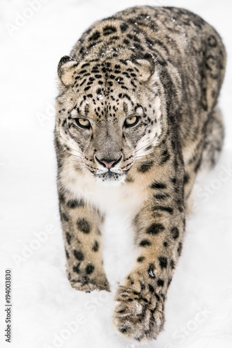 Snow Leopard on the Prowl XIV Wall mural