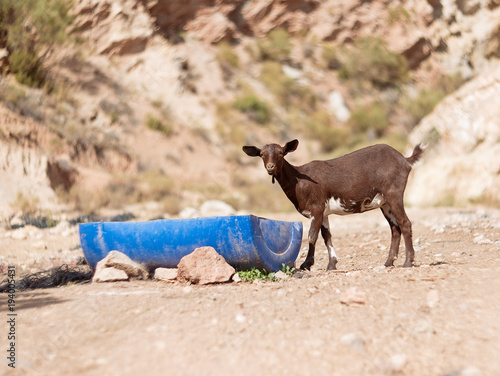Photo  Goat Kid drinks some water