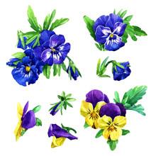 Set Of Watercolor Violets Flowers.