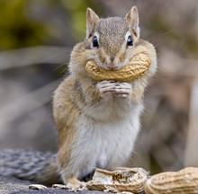 Chipmunk With A Peanut