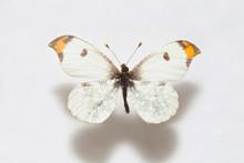 Butterfly Specimen Korea,Anthocharis Scolymus