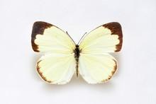 Butterfly Specimen Korea,Eurema Hecabe,Common Grass Yellow