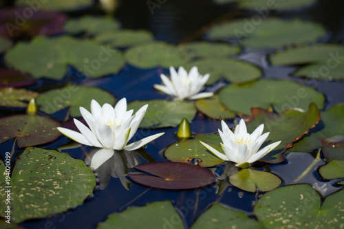 Foto op Canvas Waterlelies Fine white water-lilies with leaves on the lake in the wild natu