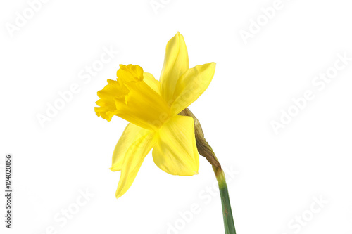 In de dag Narcis Narzisse Perspektive 2 freigestellt