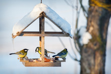 Three Tit In The Snowy Winter ...