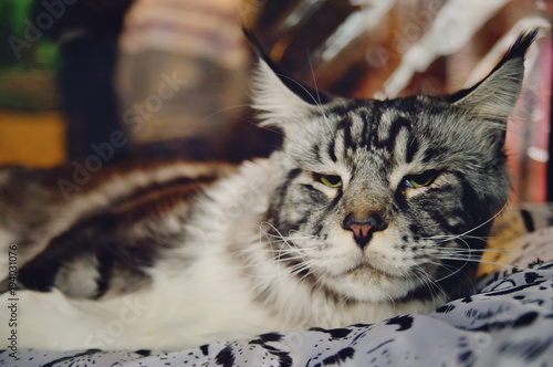 The big silver Maine Coon  - Buy this stock photo and explore