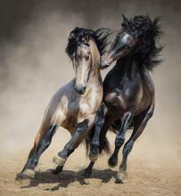 Red-gray Spanish Stallion Play With Dun Spanish Stallion