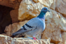 A Pigeon Is In The Desert Of I...