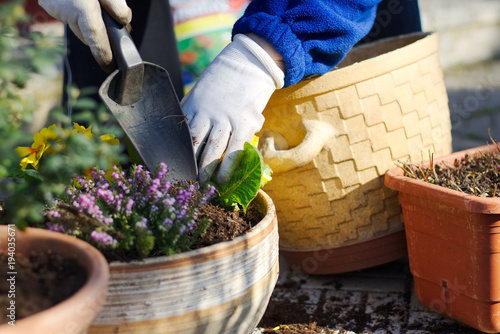 Planting spring flowers into pots, primrose and heather in garden, gardening in spring season
