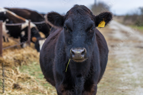 Vászonkép Black angus cow looking at camera