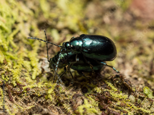 Flea beetle mating Poster