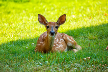 Whitetail Fawn Laying In Grass