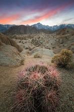 Pink Cactus, Boulders, And Lone Pine Peak During Beautiful Sunset In Alabama Hills, Lone Pine, California