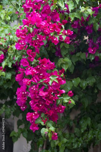 Bougainvillea flowers Wallpaper Mural