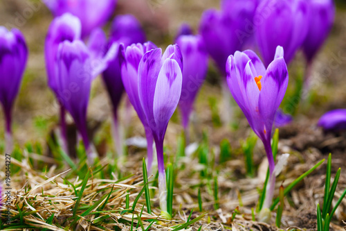 Purple Crocus Flowers In Snow Awakening In Spring Kaufen Sie