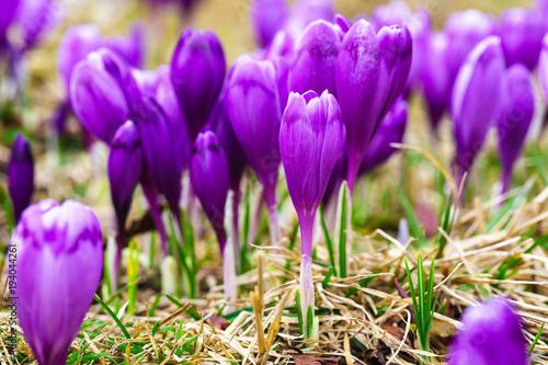 Foto op Plexiglas Krokussen Purple crocus flowers in snow awakening in spring