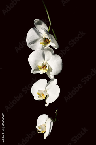 Poster Orchidee Close-up of white orchids against black background