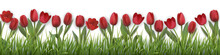 Red Tulips And Grass. Realisti...