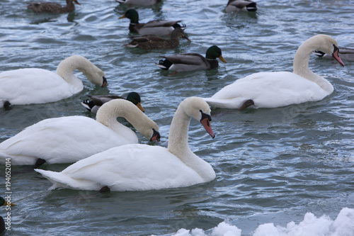 Fotografie, Tablou  Mute Swans in a Cold, Snowy Blue River