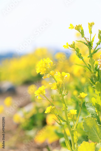 Fotobehang Zwavel geel 菜の花