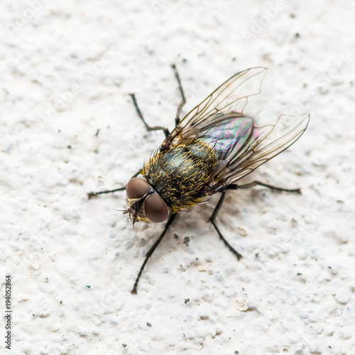 Diptera Meat Fly Insect On Wall
