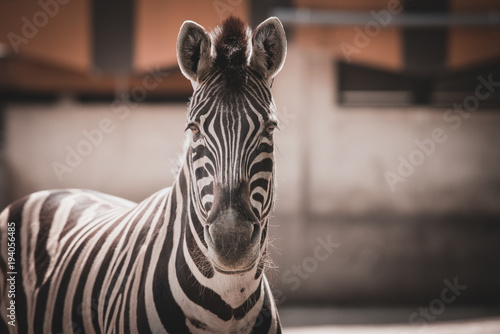 Staande foto Zebra Zebra close up portrait
