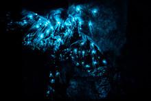 Closeup Of New Zealand Glow Worms In Waipu Cave