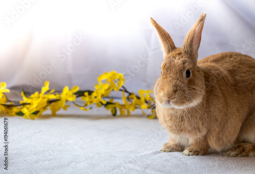 Fotografie, Obraz  Bunny Rabbit in rufus color poses next to yellow forsythia flowers against light
