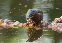 Green Heron Reflected In Pond Water