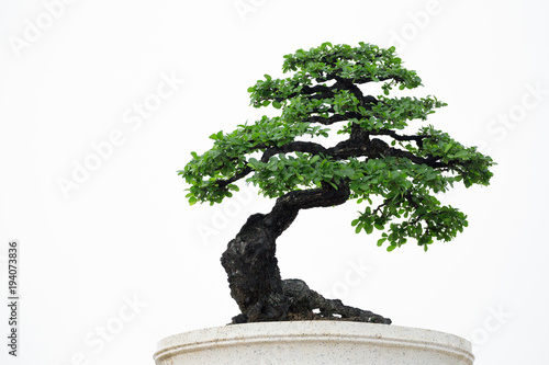 Foto op Canvas Bonsai Bonsai tree on a white background.