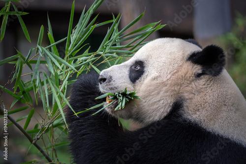 Poster Panda Panda is eating bamboo leaves.