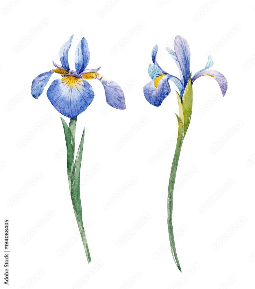 Fototapeta Watercolor iris set