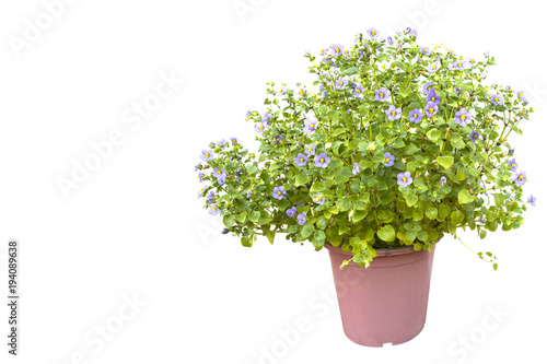 Persian Violet flower (Exacum affine) on white background Canvas Print