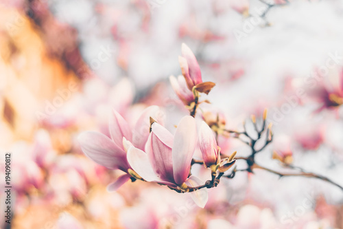 Poster Magnolia Beautiful magnolia flowers. Filtred effect. Soft selective focus