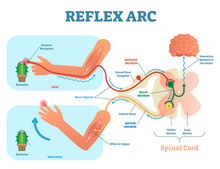 Spinal Reflex Arc Anatomical S...