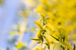 canvas print picture Yellow flowers on willow branches in spring