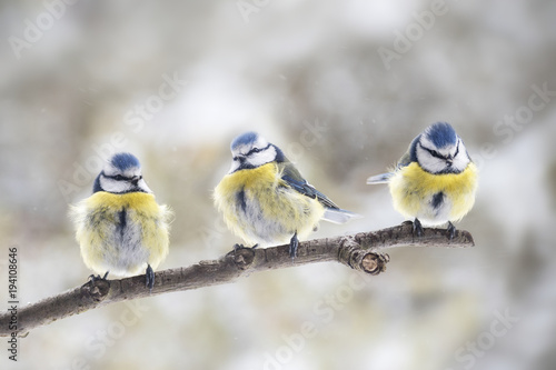 three eurasian blue tits (Cyanistes caeruleus) sitting together on a branch in the wind, the small passerine bird is also called chickadee or titmouse, copy space