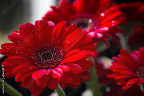 Photo Red gerbera daisy; macro
