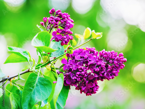 Fotobehang Lilac Branch of blossoming lilac