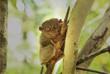 A cute lemur sitting in a tree