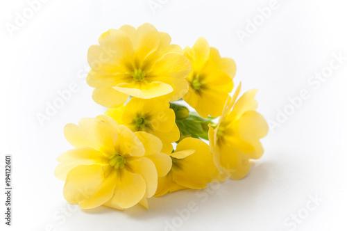 Obraz na plátně bouquet de primevères jaune sur fond blanc