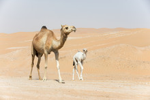Proud Arabian Dromedary Camel Mother Walking With Her White Colored Baby In The Desert Abu Dhabi, UAE.