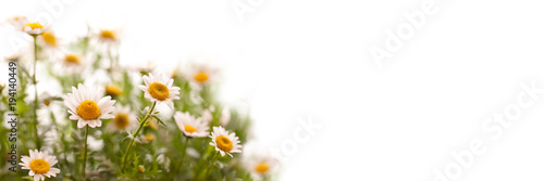 In de dag Madeliefjes Close up on daisies, panoramic white background, spring concept
