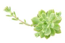 Green Rosette Flower Echeveria Succulent Plants On White Background