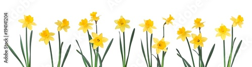 Fotobehang Narcis Daffodils in a row isolated on white