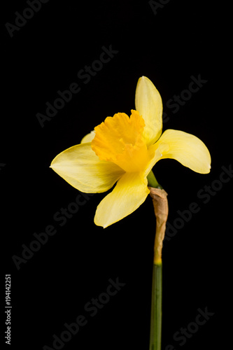 Deurstickers Narcis Yellow daffodil on black background.