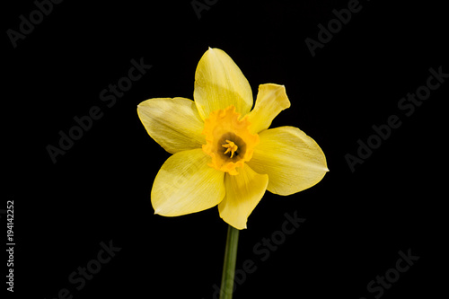 In de dag Narcis Yellow daffodil on black background.